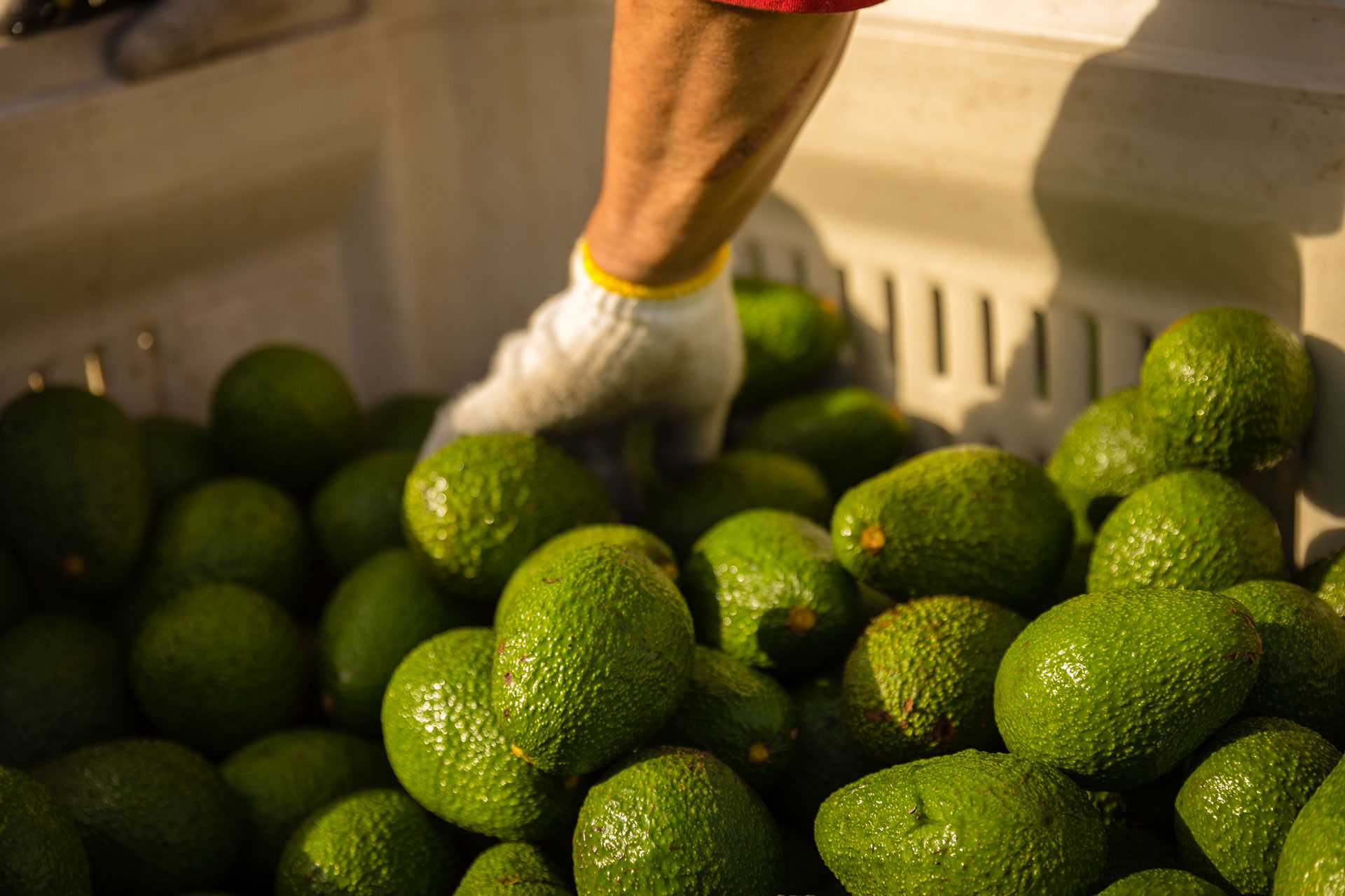 Avocado Farming and Harvesting California