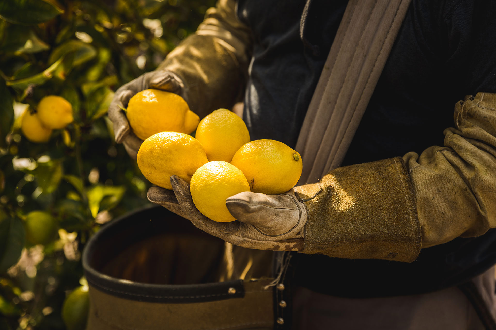 Lemon Harvest in California, El Rifugio Farm